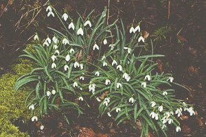 Snowdrops after Rain in the Forest