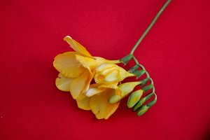 freesia on red