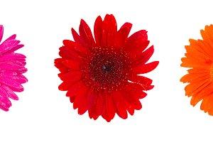 Herbera daisy flowers