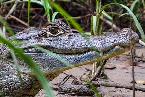 Crocodile or caiman