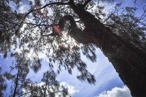 Arcopodo tree