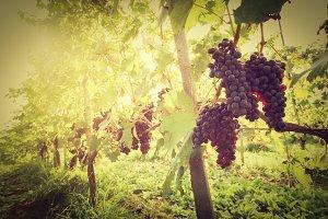 Tuscany vineyard, Italy.