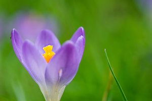 Crocus blossom and pollen