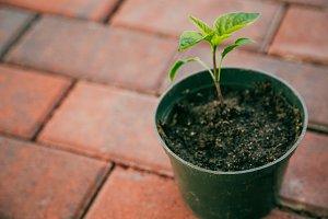 Seedling in Pot - Horizontal