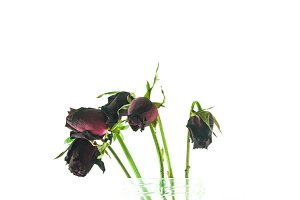Red roses wither