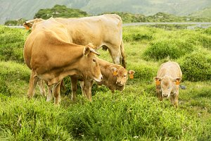 cows and calves in green mountain