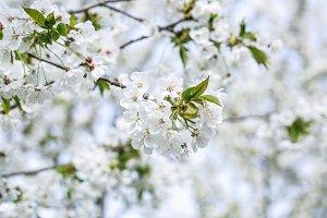 White sakura cherry flowers. Hanami