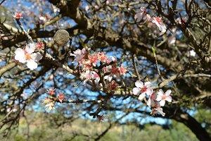 Almond Tree Blossoms
