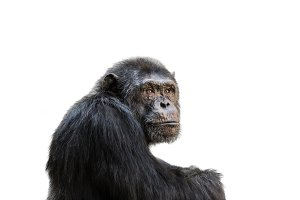 Isolated chimp