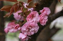 Prunus serrulata: Sakura flower