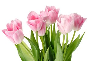 pink tulips isolated on a white