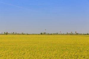 Golden rice field