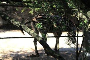 Zebra poops