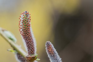 Catkin in early spring