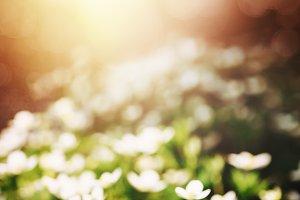 Little white flowers in sunlight