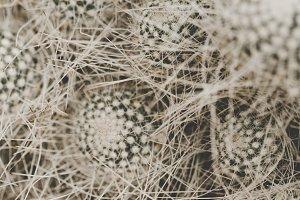 Cactus thornes closeup