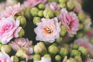 Pink flowers Kalanchoe in bloom 1