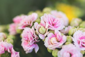 Pink flowers Kalanchoe in bloom 3