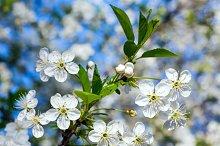 White blossoming cherry tree