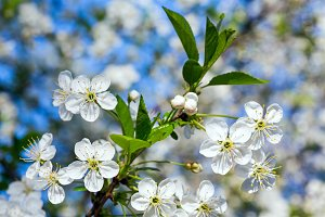 White blossoming cherry tree