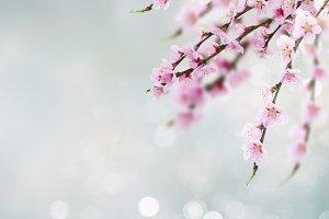Cherry tree twig