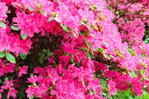 Blossoming Rhododendron bush