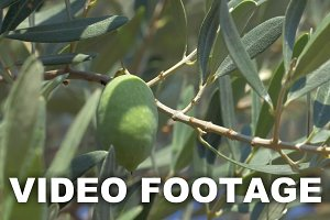 Picking Off Olives from the Tree