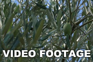 Green Olives Growing on the Tree