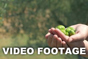 Green olive cultivation