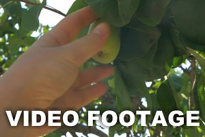 Hand Picking Pear from the Tree
