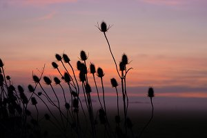 Thistles on field with fog