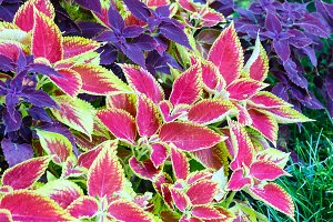 Red coleus and purple plant