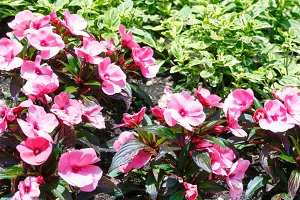 Blossoming plant with pink  flowers