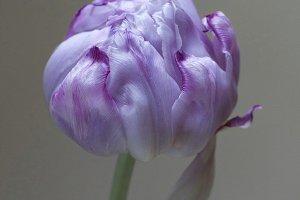 Light purple tulip