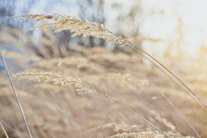 Tender Brown Grass