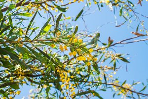 Blooming mimosa tree branch over blue sky.