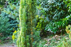 Small green coniferous tree