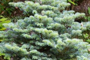 Small fluffy green fir tree.