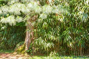 Pine tree in bamboo grove