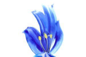 Watercolor iris isolated
