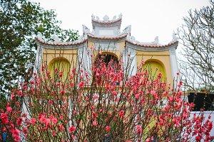 peach blossoms in vietnamese temple