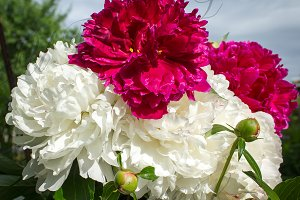 Flowers, peonies, white and red