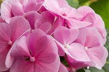 Hydrangea pink.