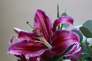 Gorgeous pink lily flower close-up