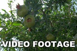 Woman touching unripe pomegranates