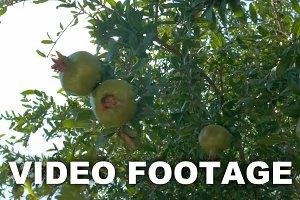 Hand Touching Green Pomegranates