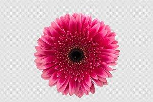 PNG Pink gerbera daisy flower