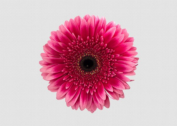Png pink gerbera daisy flower graphic objects creative market mightylinksfo