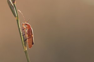 Orange Bug on the Grass Stalk