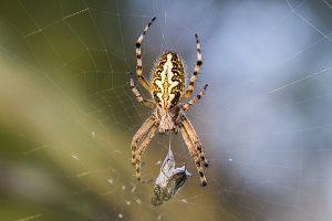 Crusader Spider with his Prey